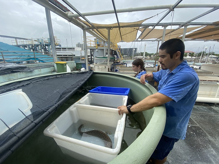 Three moray eels placed in tubs acclimate to their new tank at Reef HQ Aquarium