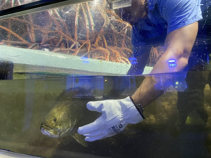 The barramundi waits patiently to evade the aquarist's hands.